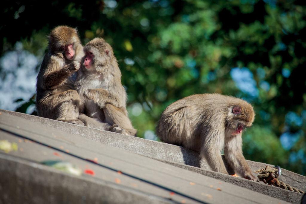 drie apen in artis